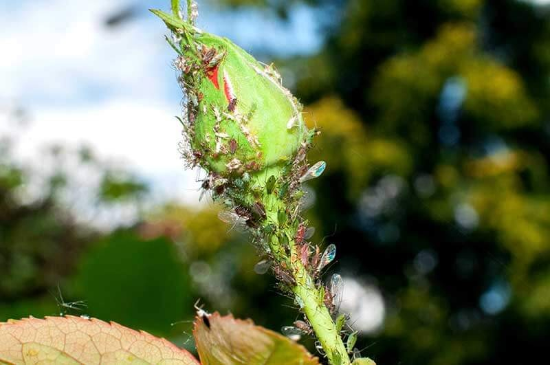 Rose aphids during spring