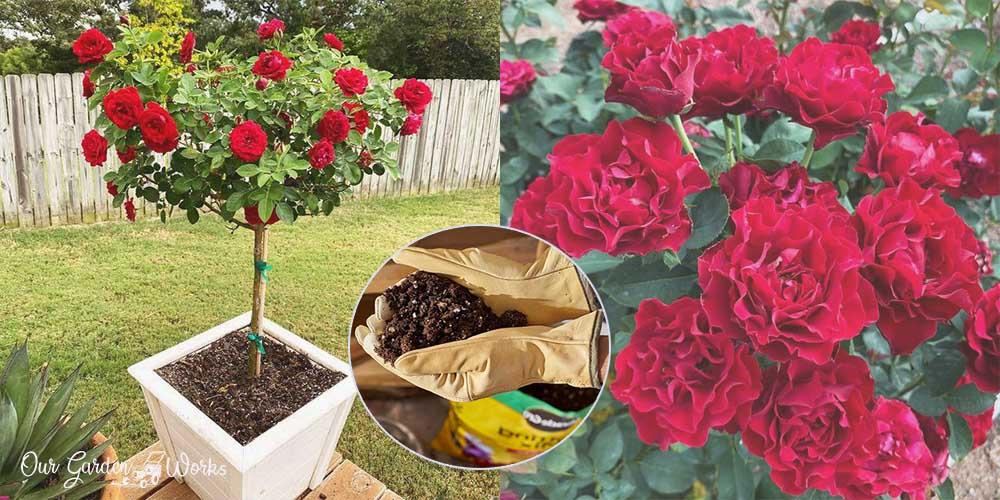 10 best potting soil for roses_ Top Picks & Reviews