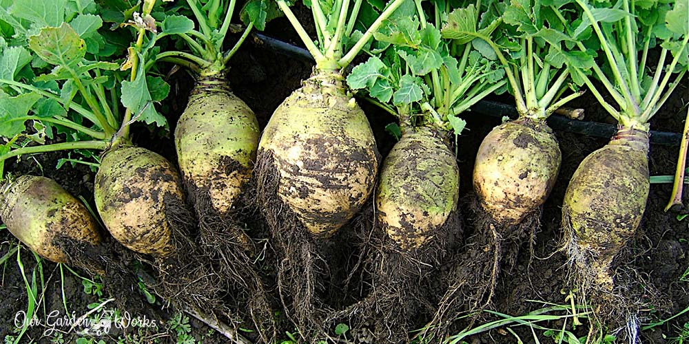 4 Ways on How to Store Rutabaga
