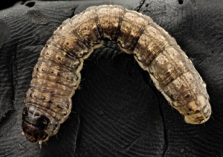 Cutworms
