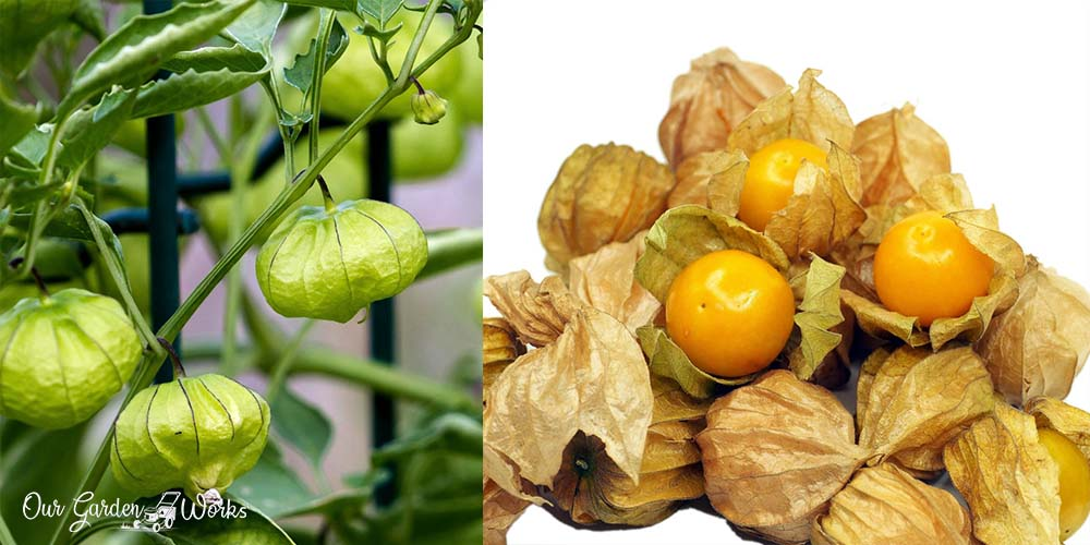 Discovering Edible Fruits - Are Tomatillos Toxic or Safe To Eat