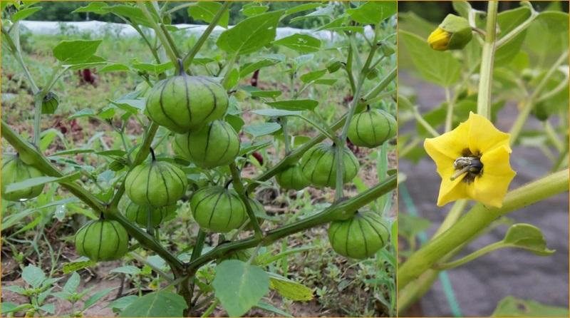 Growing Tomatillos in Your Garden