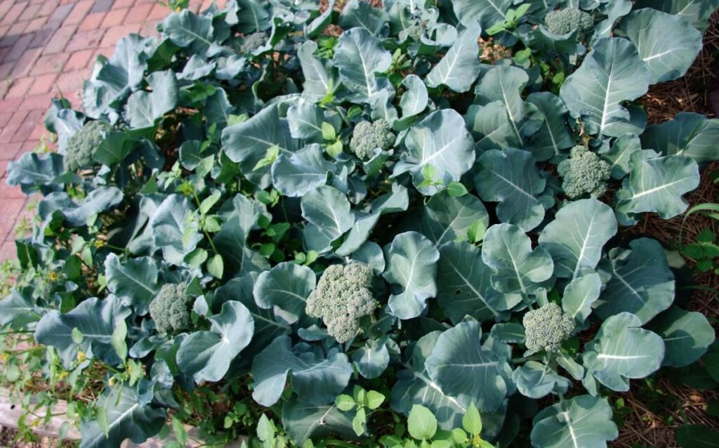 Health benefits of broccolini