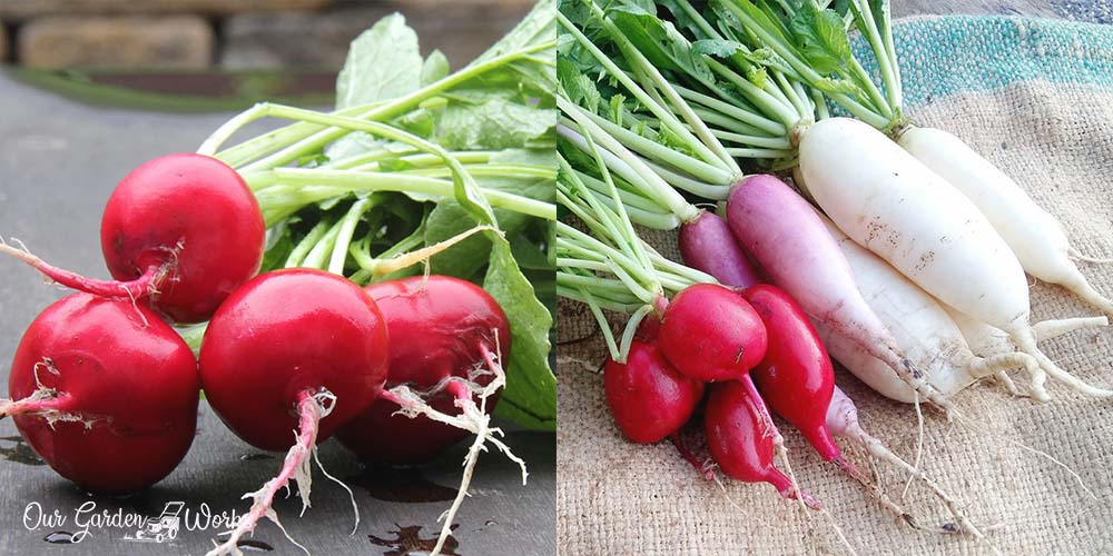 Radish: Health Benefits, Side Effects & Dishes To Try