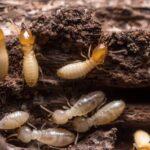 Termites on tree stumps