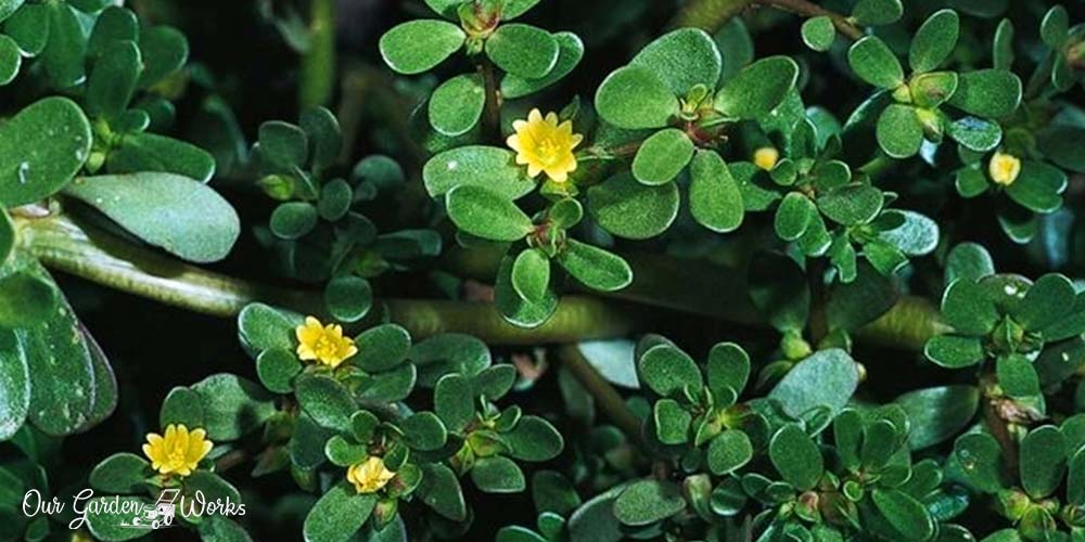 The Edible Weed_ How To Grow Purslane In Your Yard