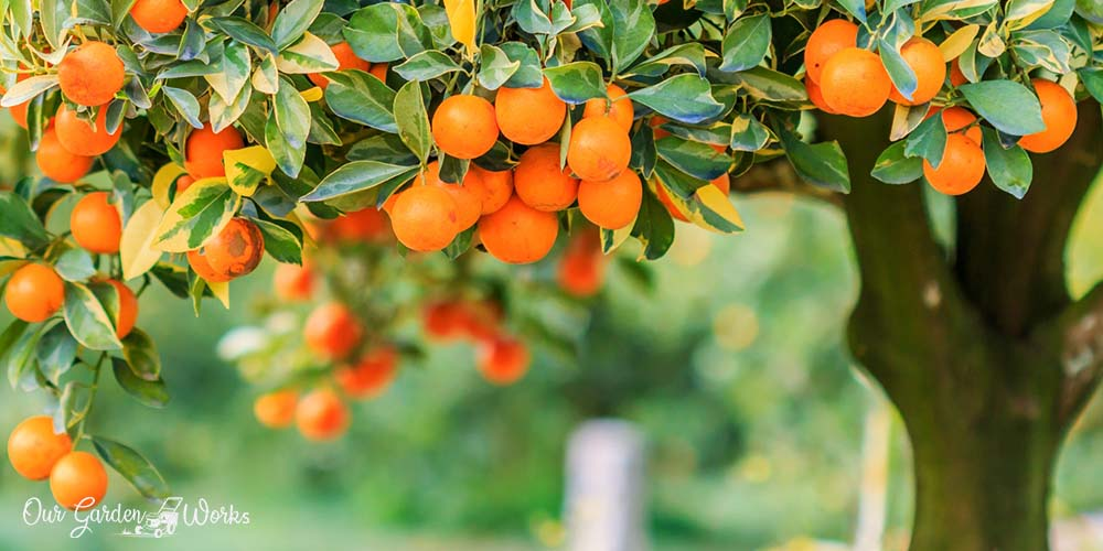 What Are The Best Fertilizers For Citrus Trees - A Quick Guide