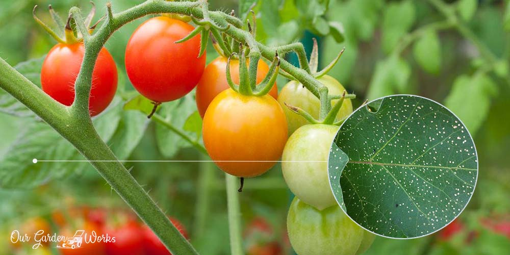 What Are The Small Holes in tomato leaves - solutions