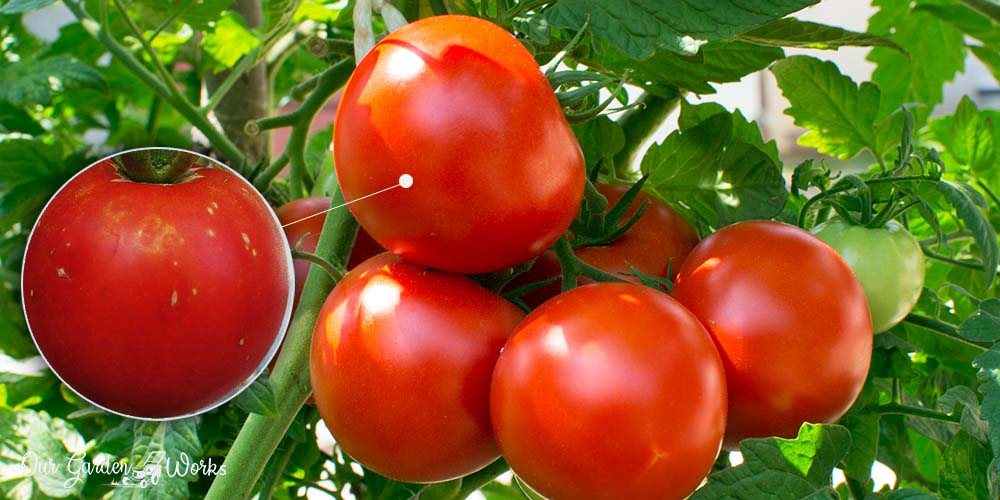 White Spots On Tomatoes - Possible Causes & Are They Safe To Eat
