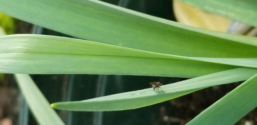 Allium leafminers