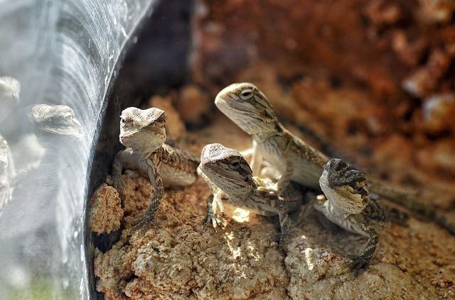 Baby bearded lizards