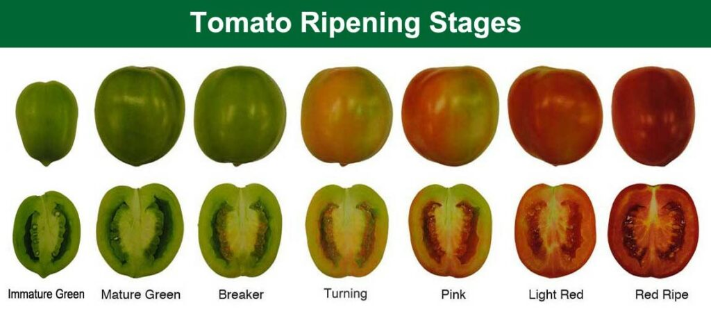 Color codes for the ripening stages of tomatoes