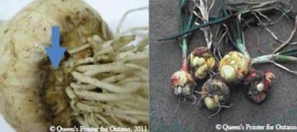 Garlic bloat nematode