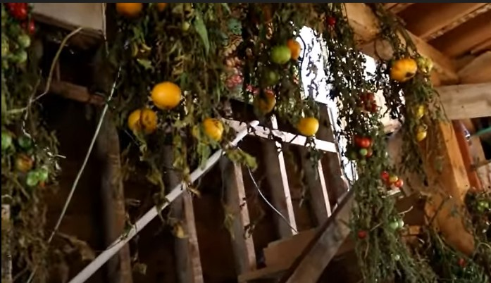 Hanging green tomatoes to ripen them