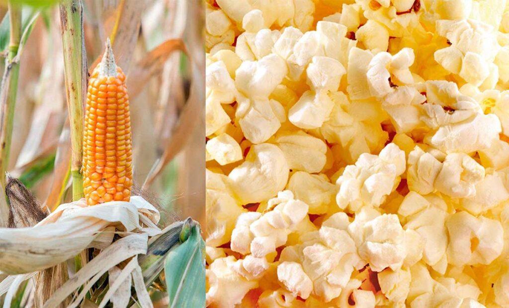 Heirloom Popcorn