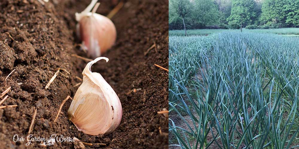 How To Plant Garlic In The Fall & Get A Good Harvest