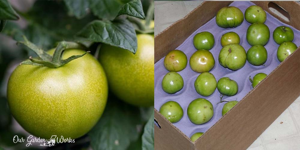 How To Store Green Tomatoes & Wait For Them To Ripen