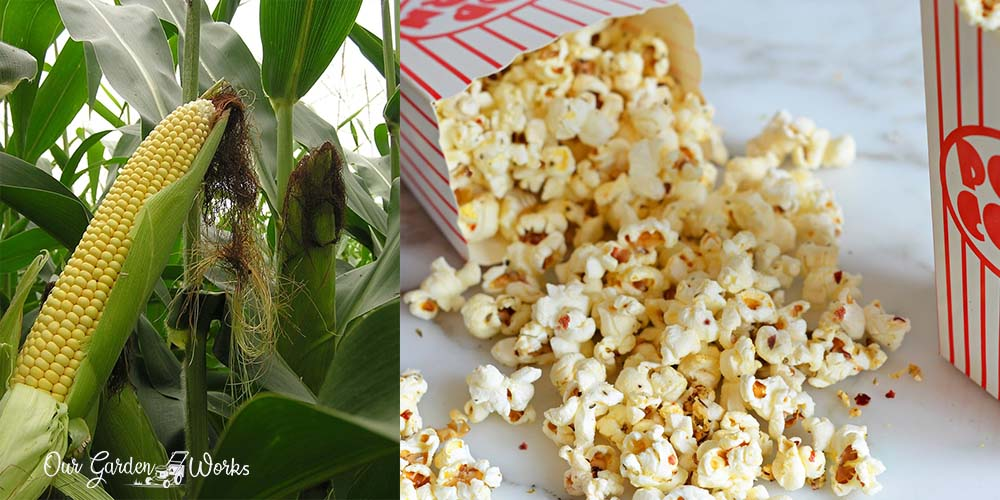 How to Grow Popcorn And Enjoy Unlimited Snack At Home