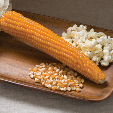 Robust 997 Yellow Hulles Hybrid Popcorn