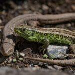 What do garden lizards eat