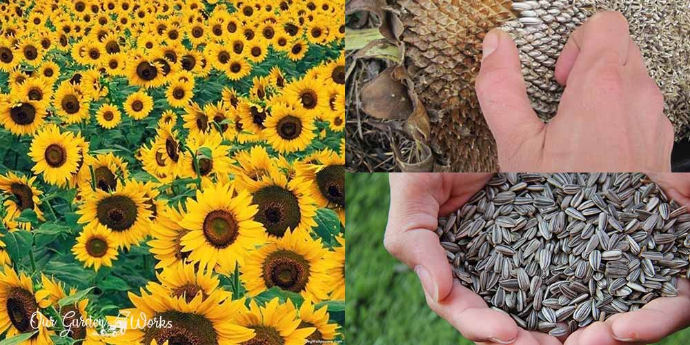 when to harvest sunflowers - 3 signs to look for