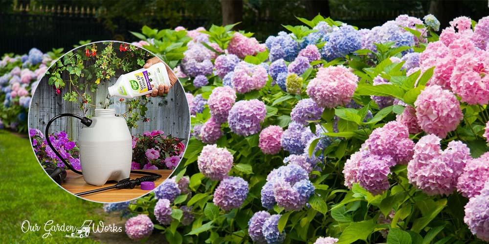 10 Best Fungicides For Hydrangeas