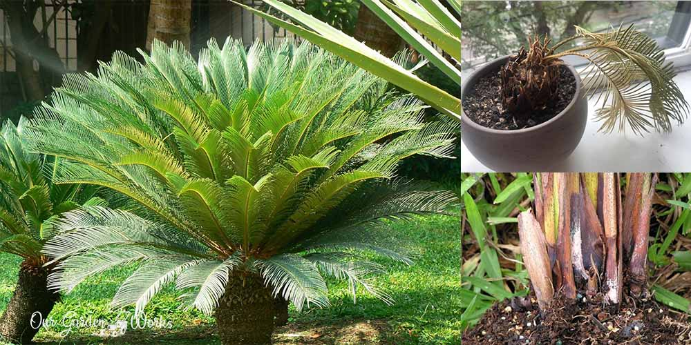 Sago Palm Diseases: What Are They & How To Prevent Them