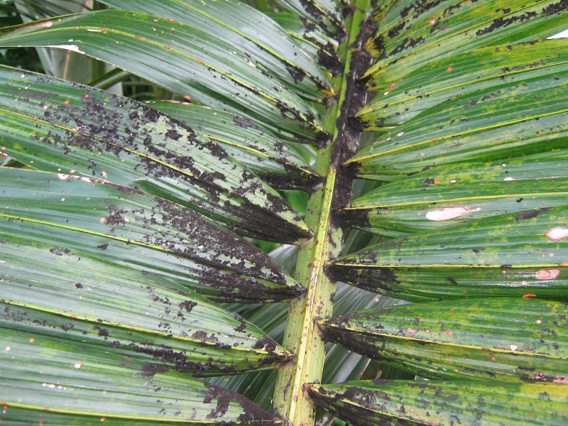 Sooty Mold on a palm tree